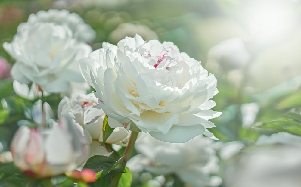 A close look at a white blooming peony.