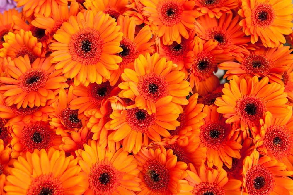 A close look at a bunch of orange flowers.