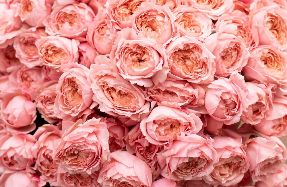 This is a close look at a bunch of pink roses.