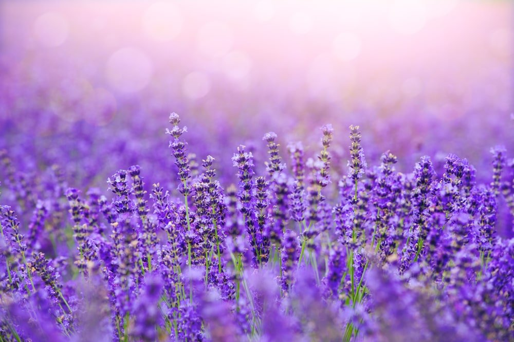 A close look at a field of lavender flowers.
