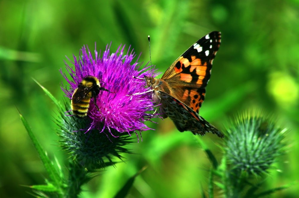 A bee and a butterfly on a purple flower.