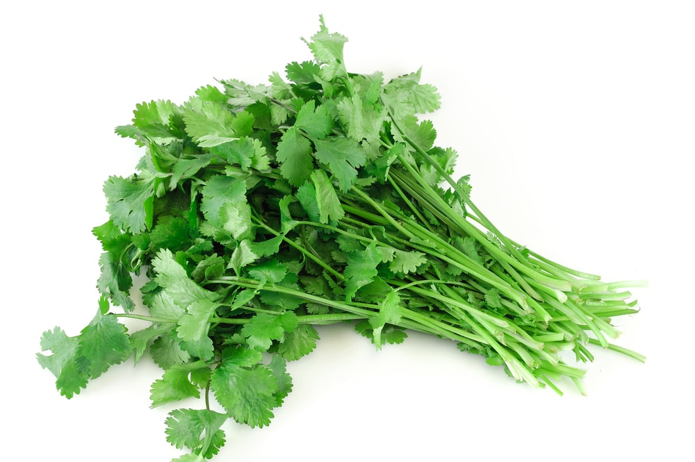 A cluster of fresh cilantro against a white background.