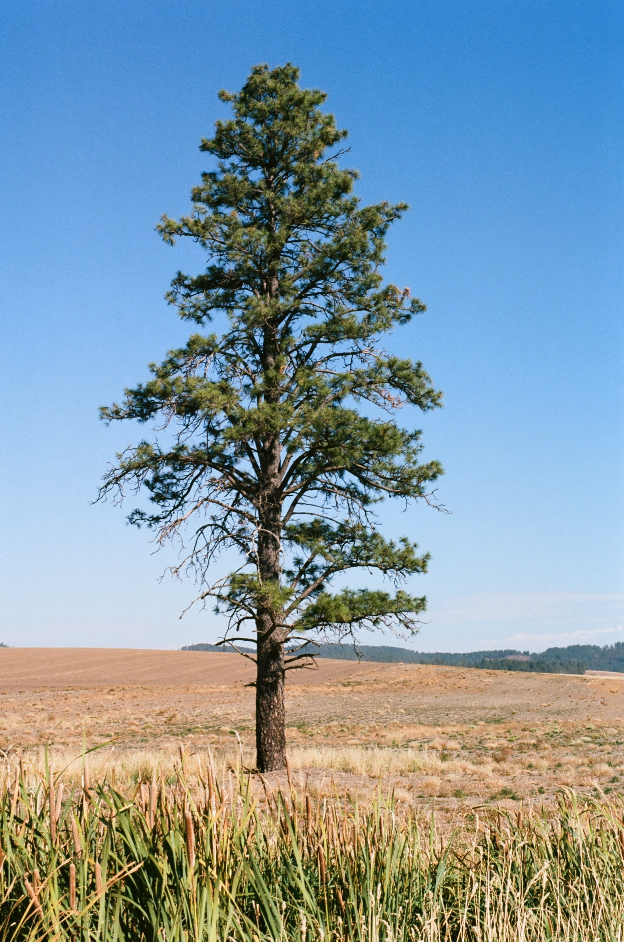 very tall ponderosa pine tree standalone on a yellow hillside with bright blue sky