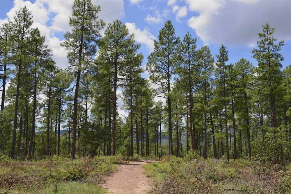 This is a look at the forest of ponderosa pine trees in the distance.