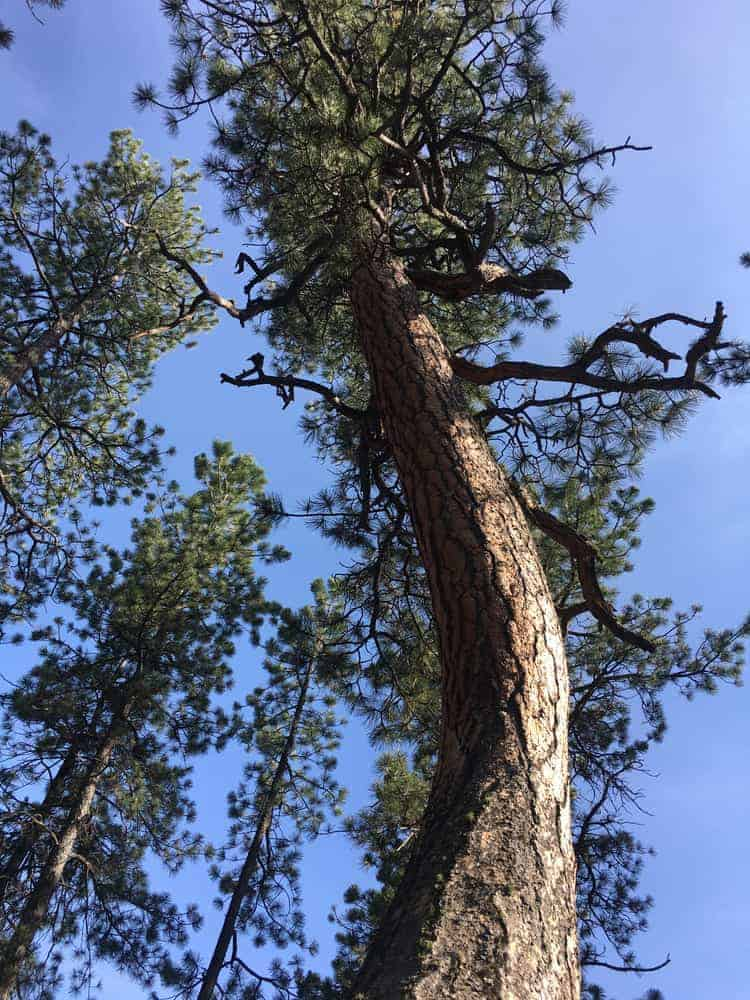 This is a close look at a tall mature ponderosa tree.