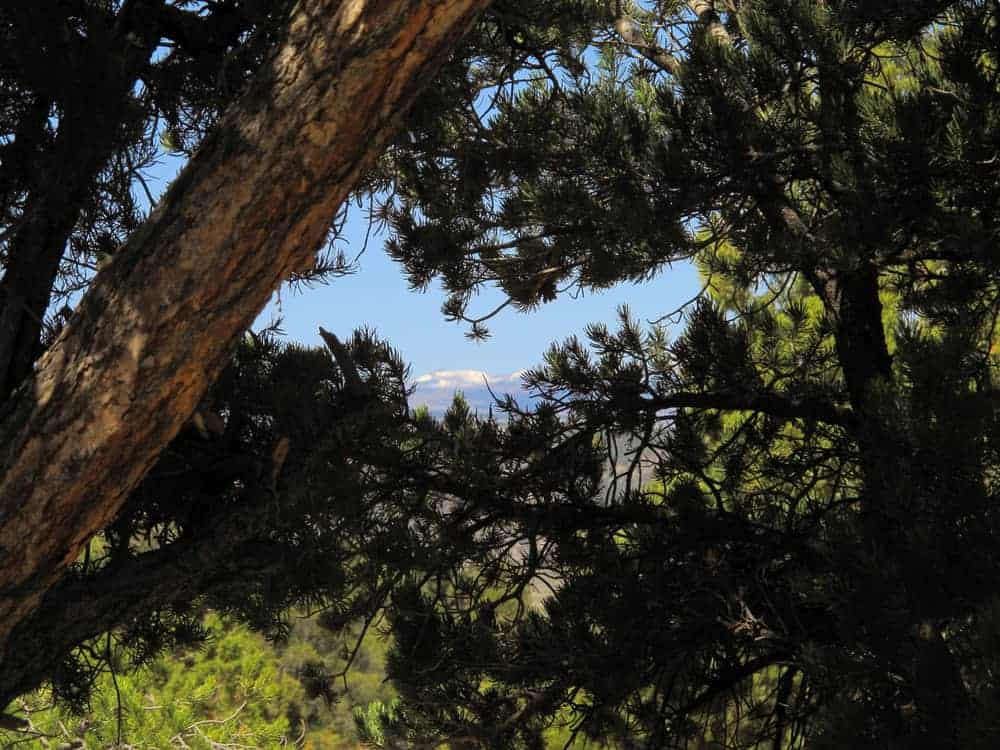 This is a close look at the foliage, branches and leaves of a ponderosa pine tree.