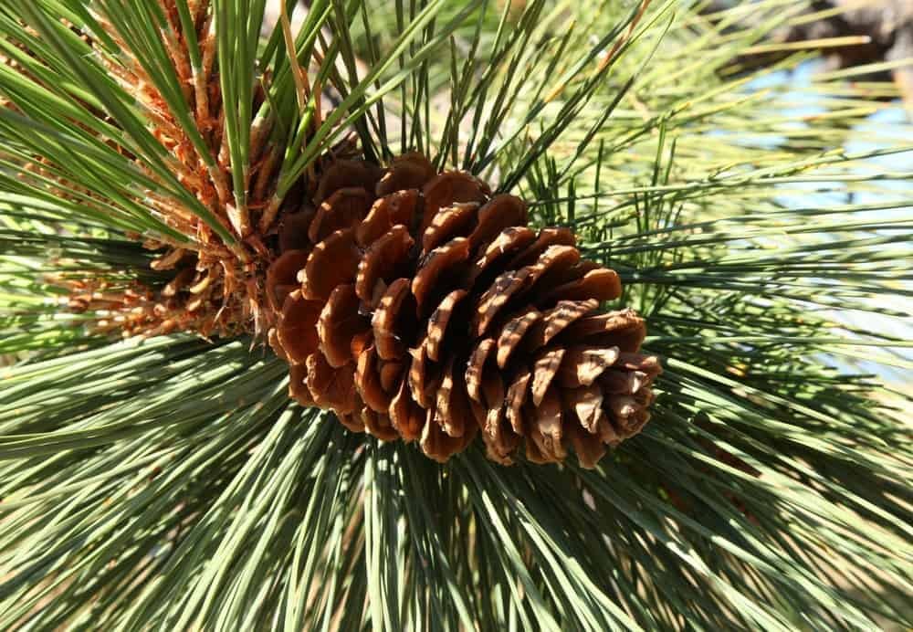 This is a close look at a pine cone of a ponderosa pine tree.