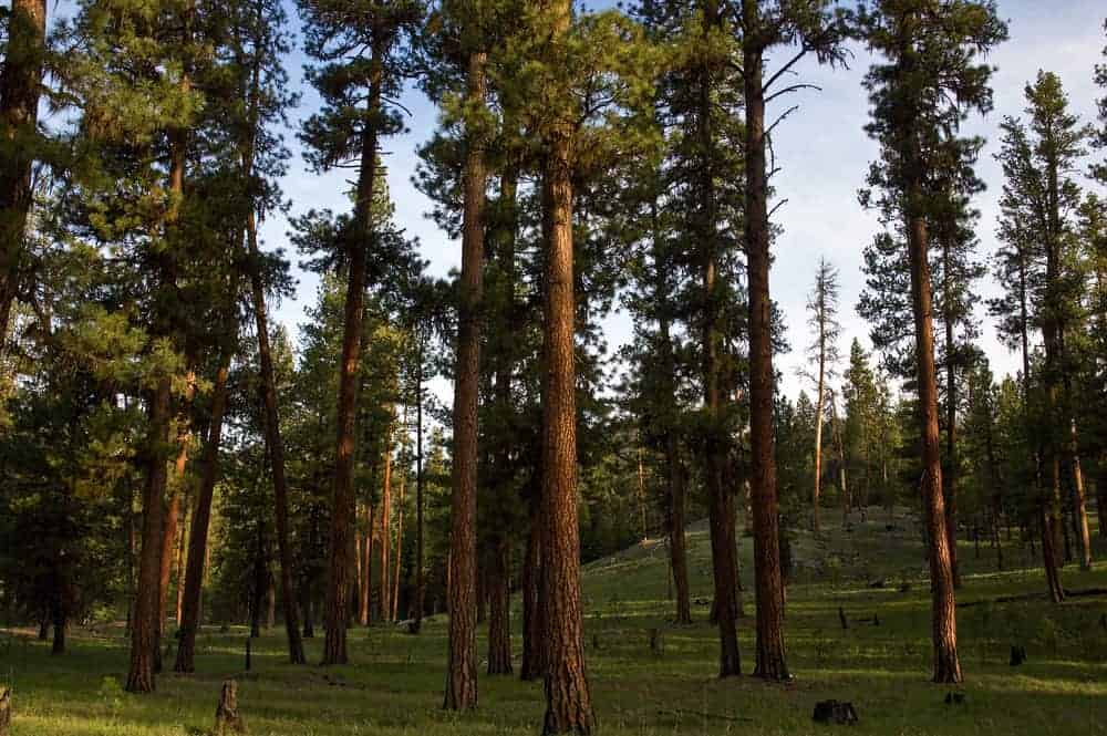 This is a close look at a forest of tall ponderosa pine trees.