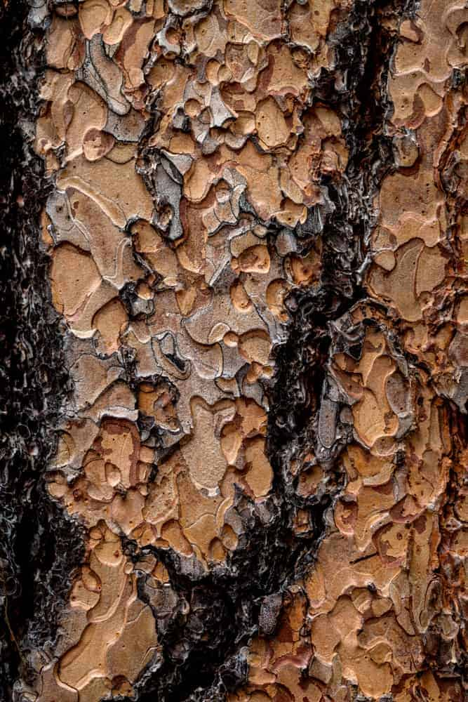 This is a close look at a diseased bark of a ponderosa pine tree.