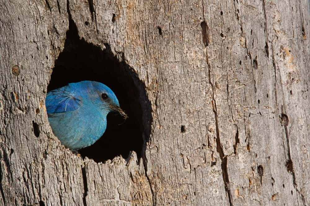 This is a close look at a blue bird living inside the bark of a ponderosa pine tree.