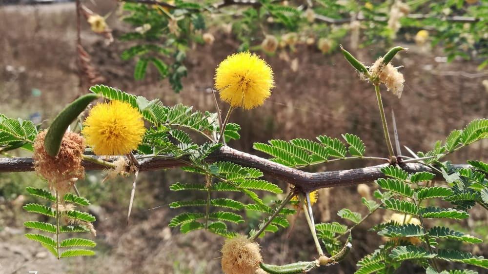 Stem and flower of Vachellia nilotica.