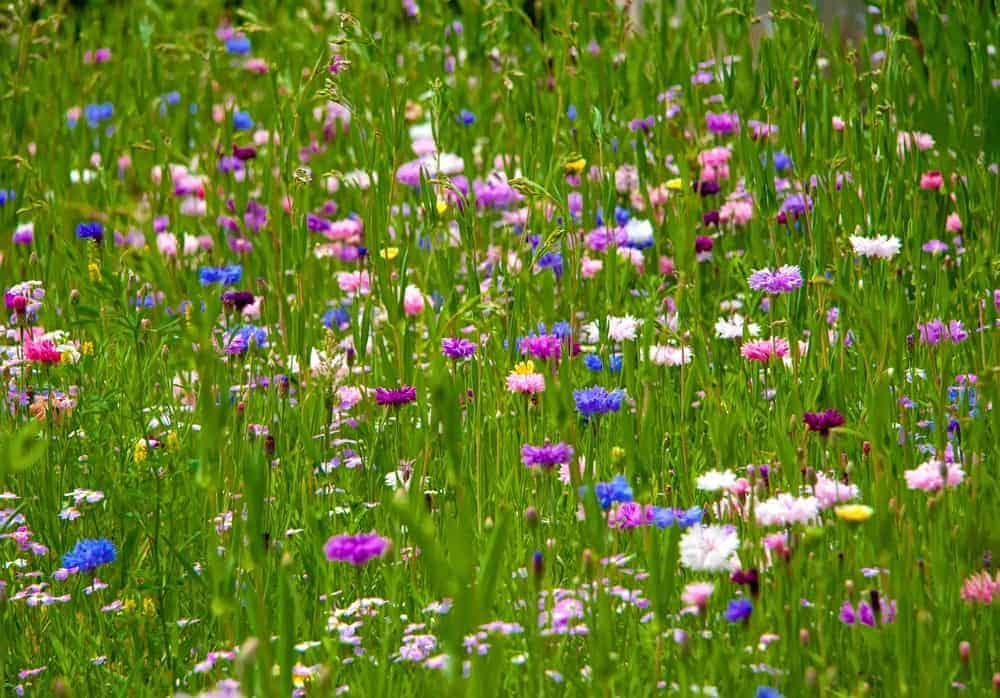 Bachelor button blue boy flowers in a field.