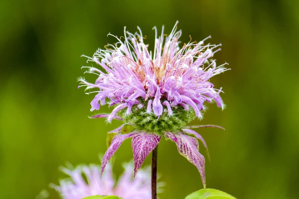 Closeup of a bergamot flower.