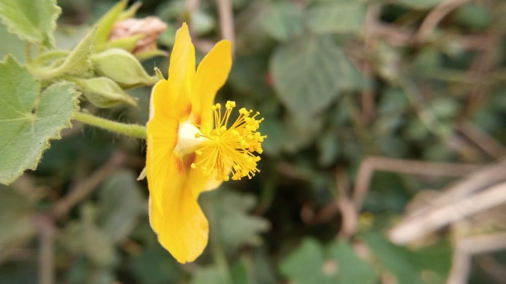 Desert mallow with yellow flower.