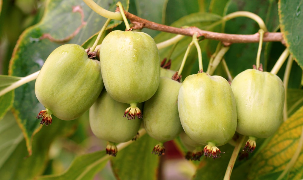 A cluster of raw hardy kiwi fruits up in the tree.