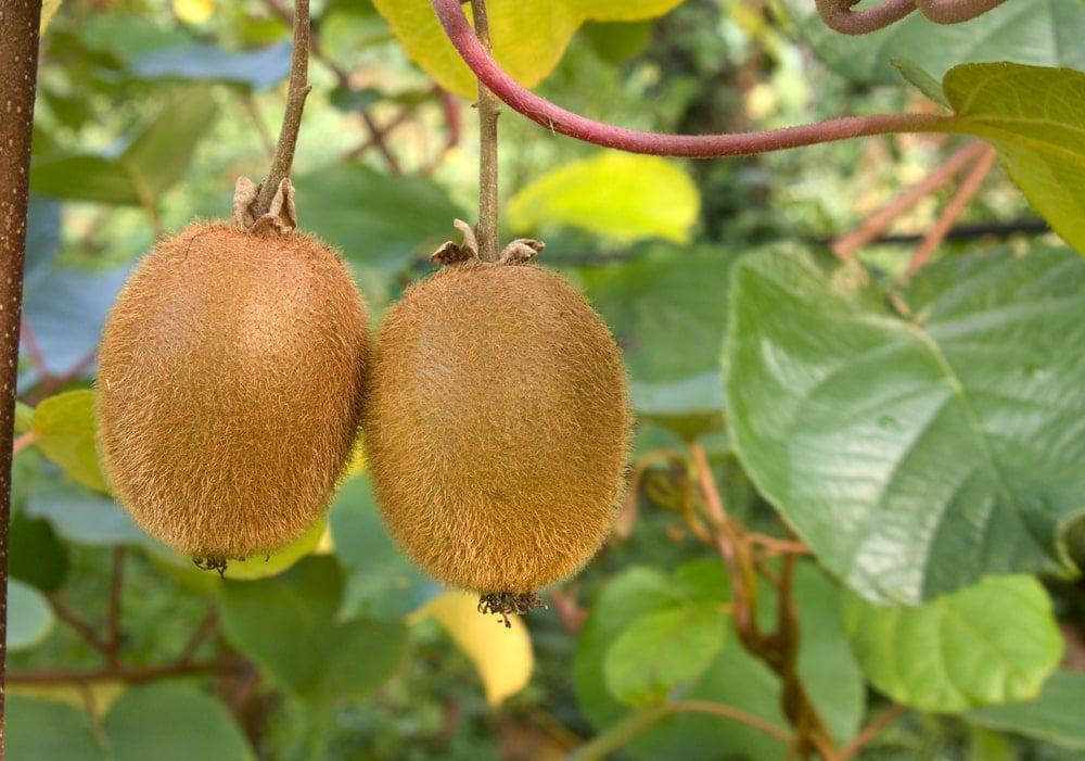 A couple of ripe fuzzy kiwi fruits ready to be picked.
