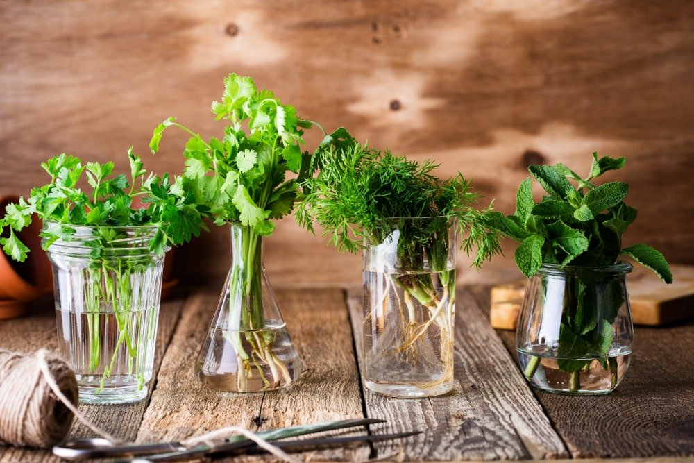 Various culinary herbs on watered jars.