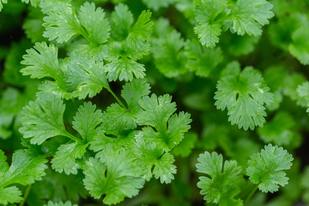 This is a close look at fresh coriander leaves.