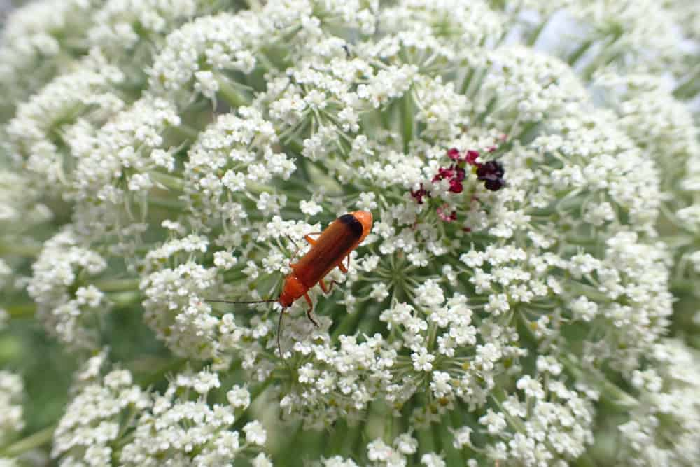 Queen Anne's Lace flowers with a common red soldier beetle.