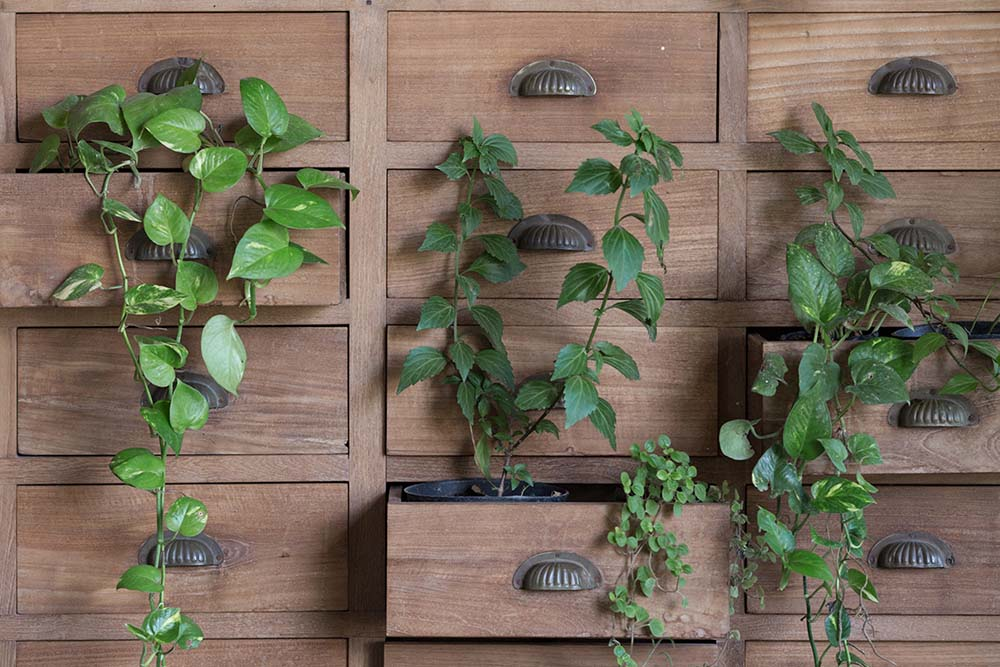 This is a close look at a set of wooden drawers repurposed as planters for creeping vines.