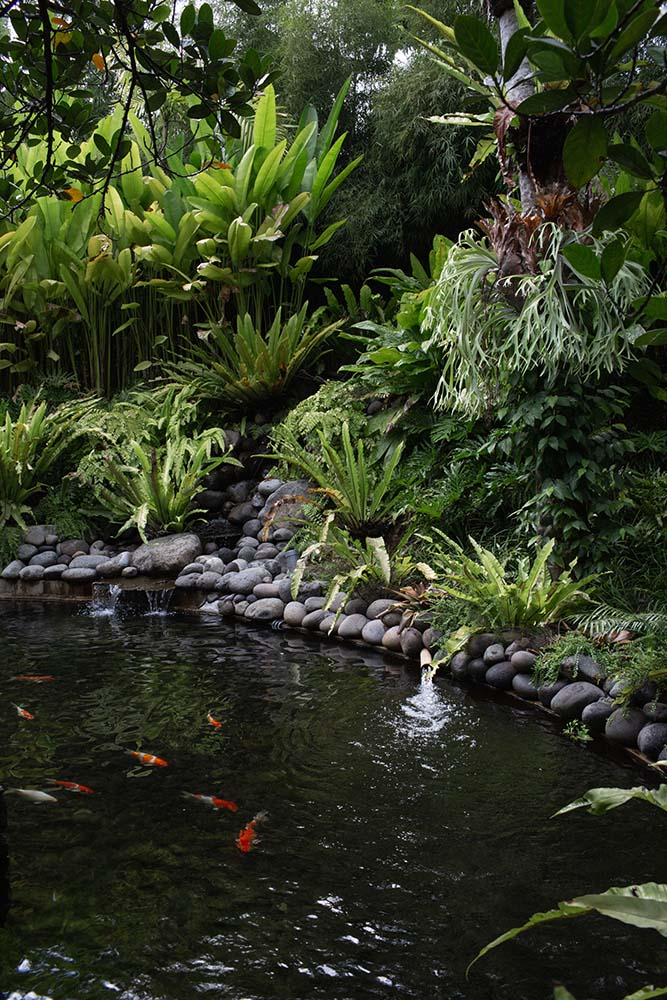 This is a close look at the fish pond and stream under the bridge walkway with various fish swimming in it surrounded by decorative rocks.