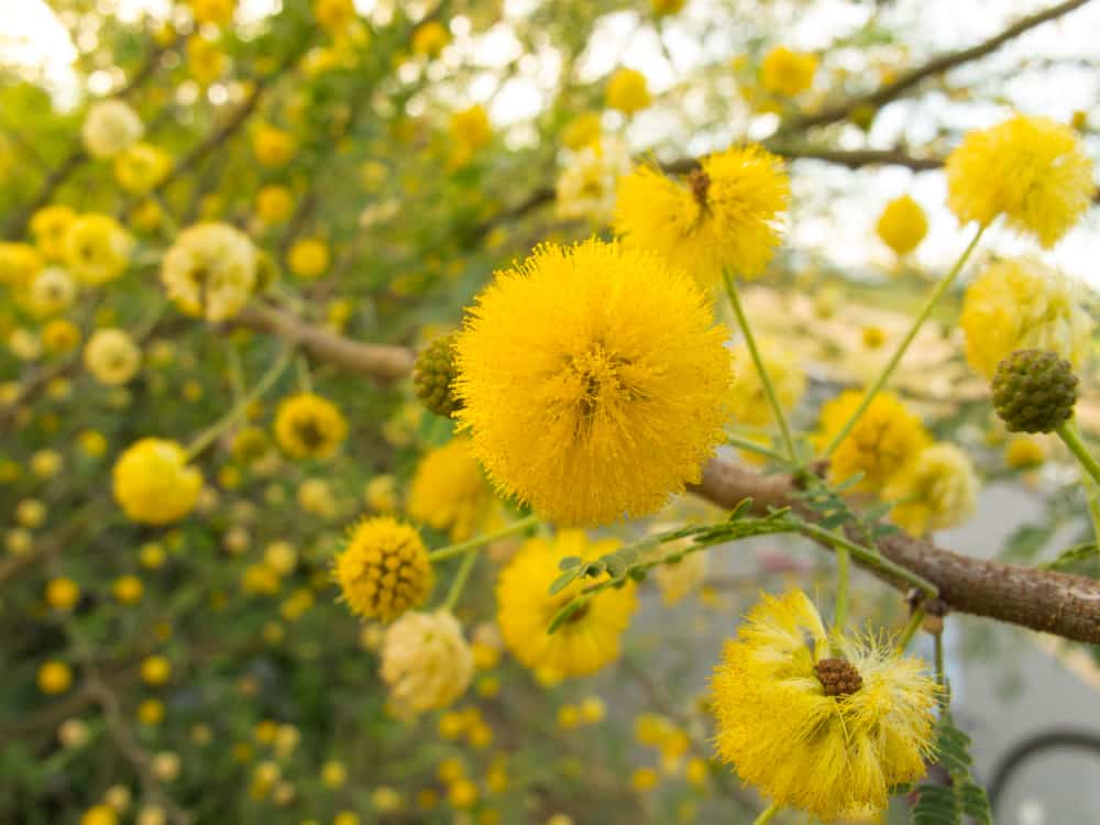 Close-up of sweet acacia flowers.