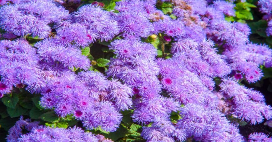 This is a close look at clusters of ageratum flowers with a light purple hue.