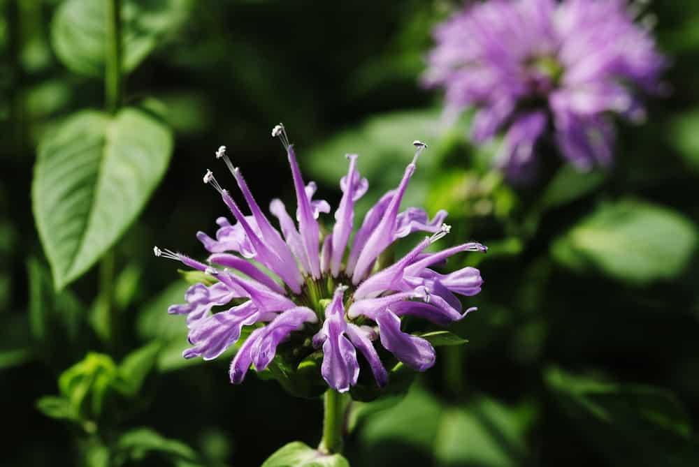 Closeup look at a bergamot's purple flower.