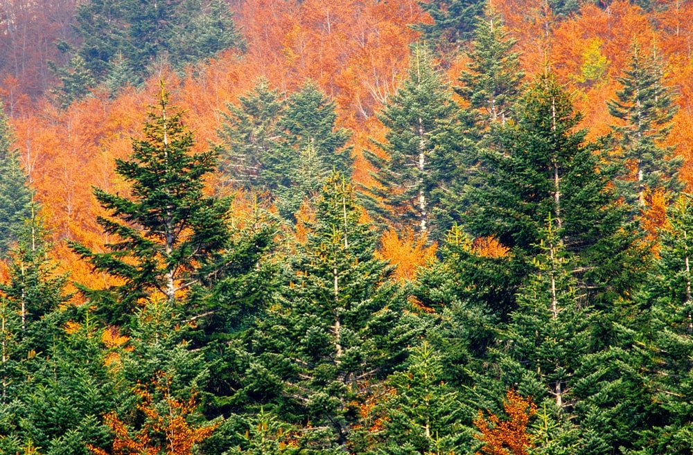 This is a look at a forest that has Balsam fir trees.