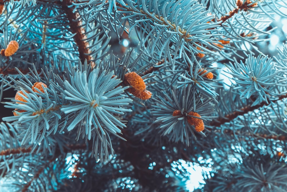 This is a close look at the branches and foliage of a balsam fir tree.