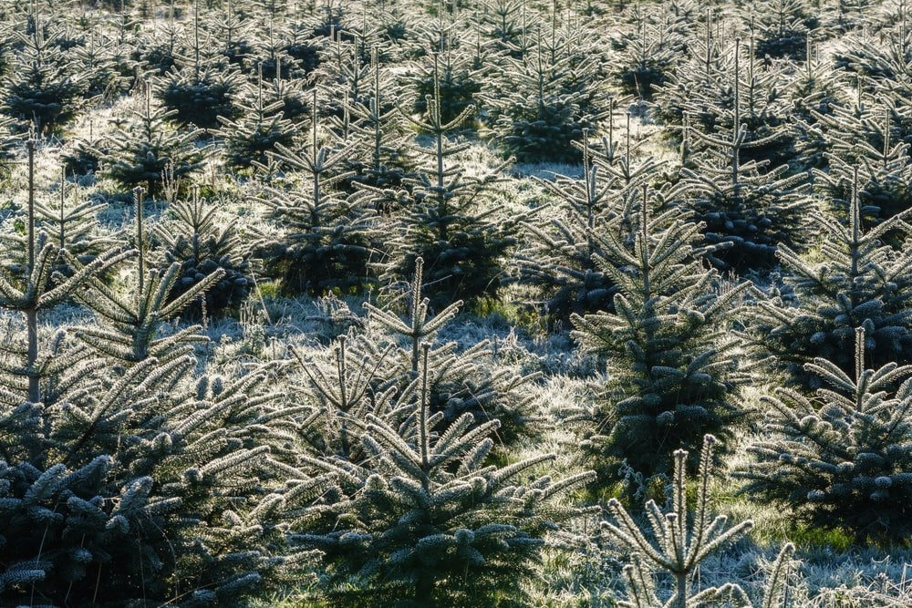 This is a close look at a nursery of fir trees.