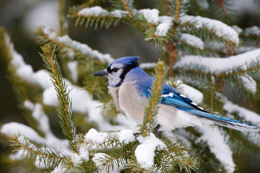 This is a close look at a blue jay nesting on a fir tree.
