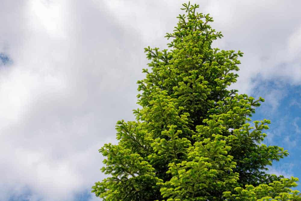 This is a close look at the tall and mature black spruce tree.