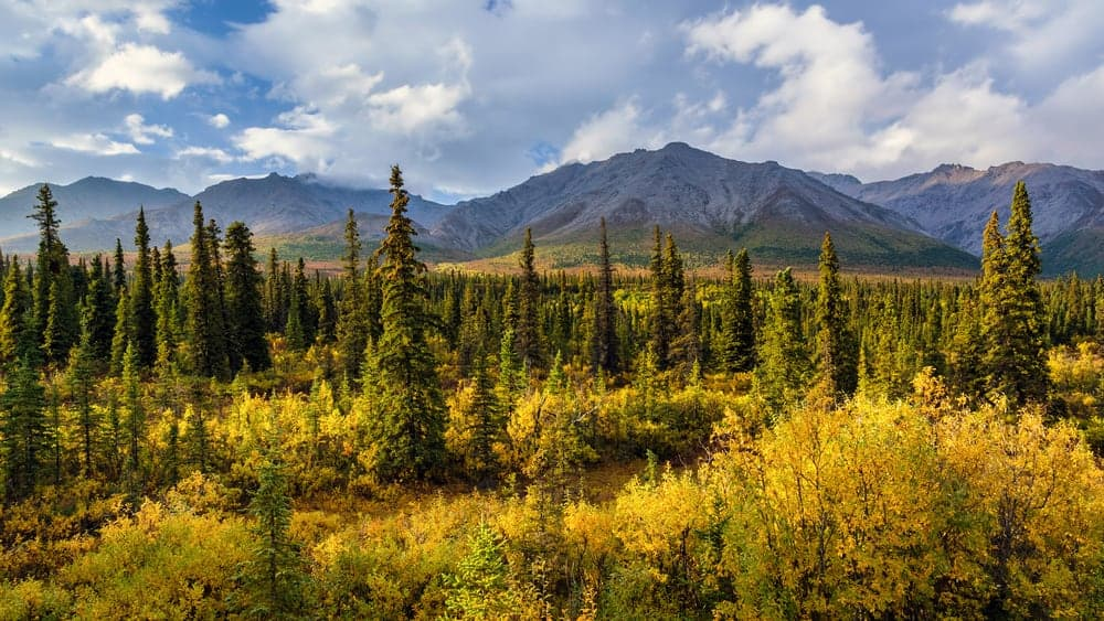 This is an aerial view of a forest of black spruce trees.