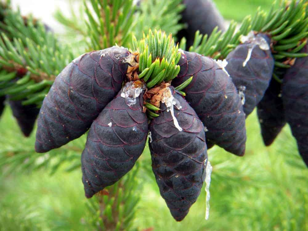 This is a close look at a cluster of black spruce's pine cones.