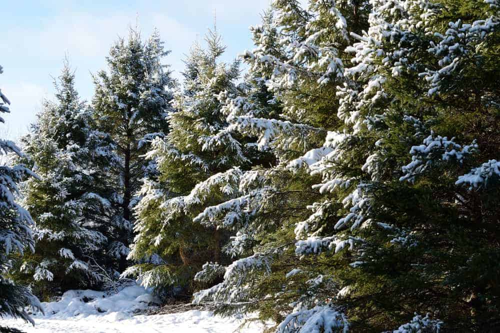 This is a close look at a row of white spruce trees.
