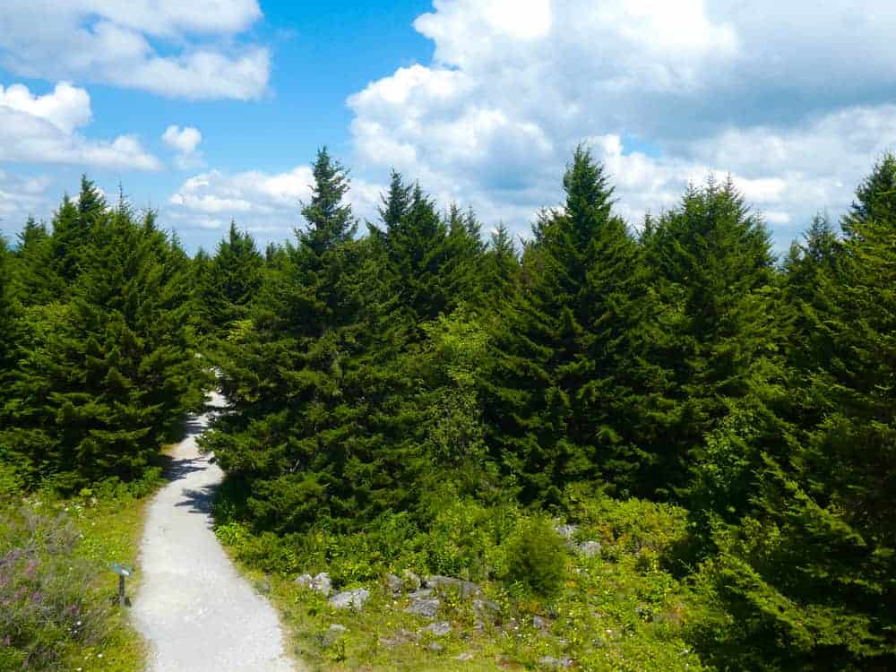 This is a close look at a walkway going through a forest of red spruce trees.