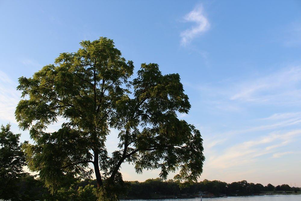 This is a close look at a large black walnut tree against a late afternoon sky.