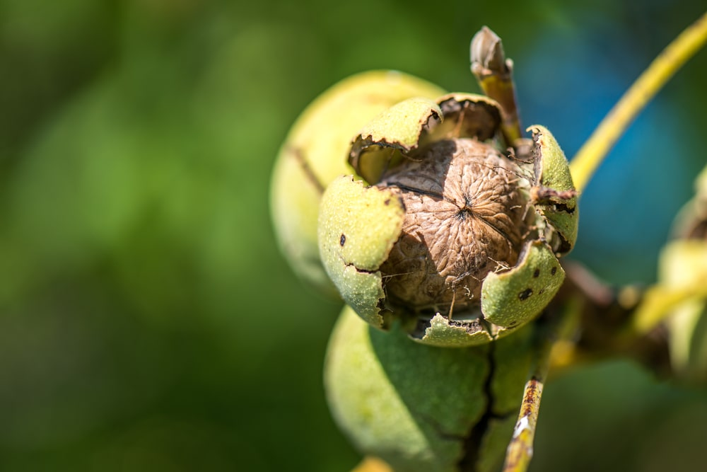 This is a close look at walnuts ready to be harvested.
