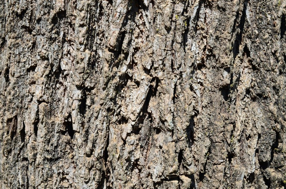 This is a close look at the bark of a black walnut tree.