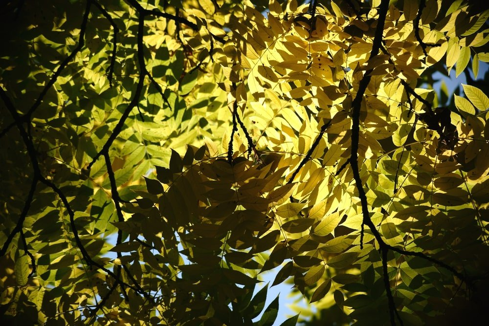 This is a close look at the foliage and leaves of the black walnut tree.