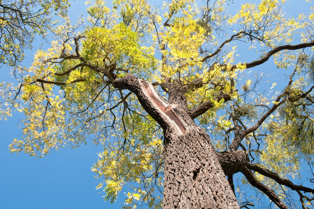 This is a close look up the tall black walnut tree.