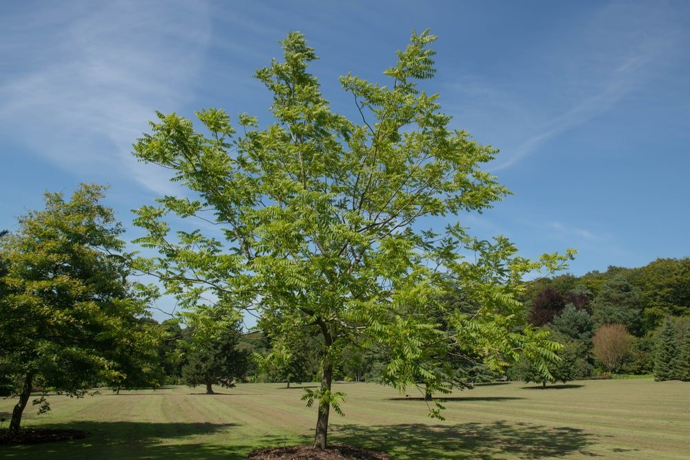 This is a healthy mature black walnut tree in a field.