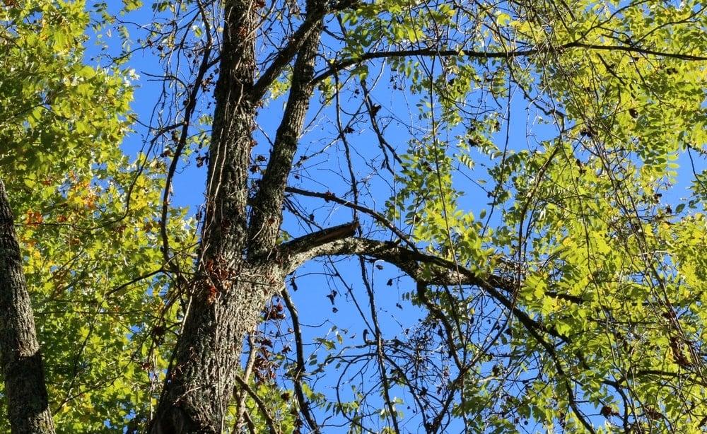 This is a close look at a tall black walnut tree.