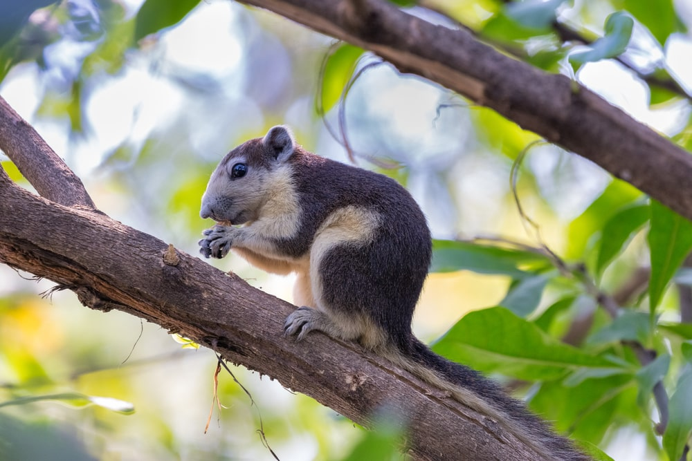 This is an Eastern gray squirrel up a black walnut tree.