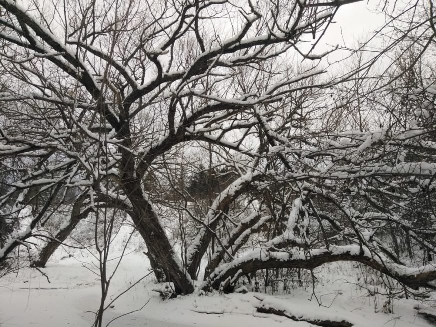 This is a close look at a snow-covered black willow tree during winter.