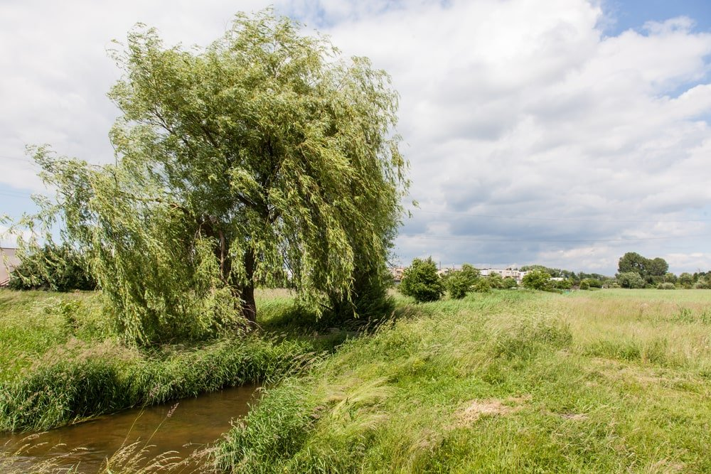 A mature white willow tree by the river.