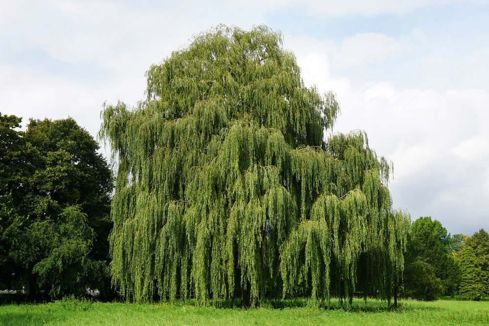 This is a view of a large mature weeping willow tree.
