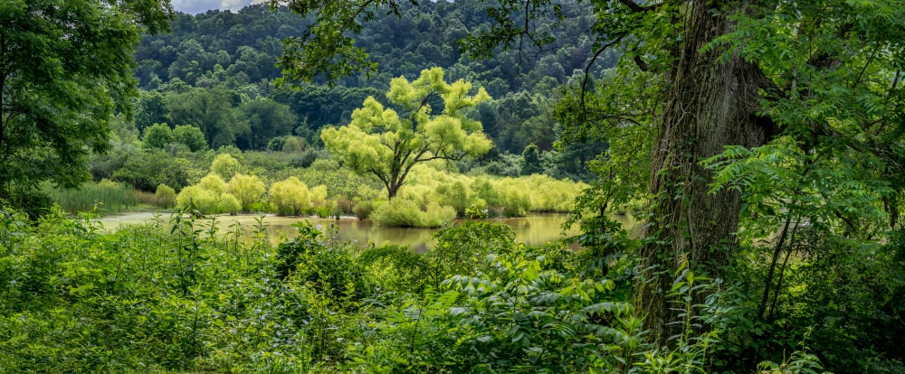 This is a far-off view of a black willow tree by the river.