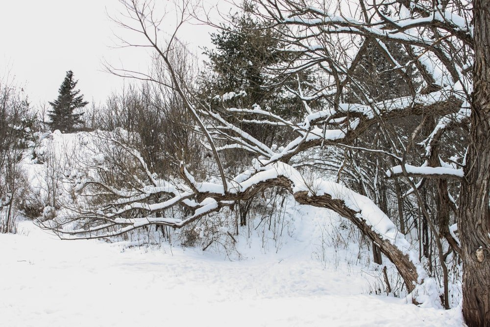 This is a close look at a snow-covered black willow tree.